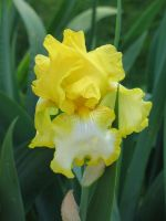 Yellow and White Iris by Jyl22075