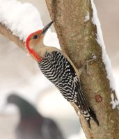 Red-bellied Woodpecker by arcadian7