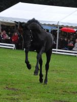 Friesian Foal Stock 04 by ponystock