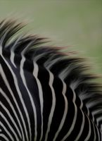 Zebra by tpphotography