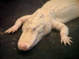 Albino Alligator by knakmos