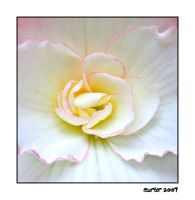 White Begonia by carterr