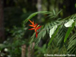 Heliconia by torreoso