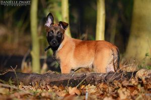 Mechelse Herder pup by DanielleZwart