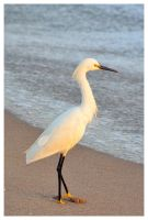 Snowy Egret by evaPM
