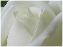 White Rose by Olcanna