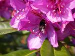 A wasp in the Pinks by tanasha67
