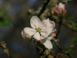 Apple Blossom 12 by botanystock