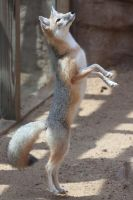 Swift Fox Dance by Jack-13