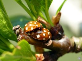 ladybugs love by IndianRain