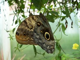 Owl Butterfly by peacetracati