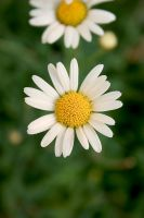 Daisy 05 by mordoc-stock