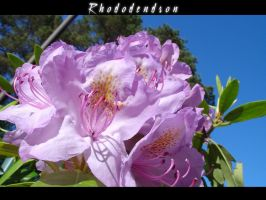 Rhododendron by Raideni