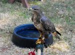 Brown Hawk by Photos-By-Michelle