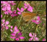 Essex skipper butterfly I by alalala