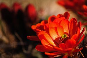 Blooms from the Desert by jlente