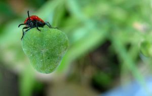 Bold red bug 2 by Mosterdmuisje