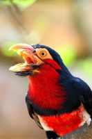 Bearded Barbet in full cry ! by Adrienmcguire