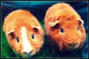 Guinea Pigs by paradoxed16