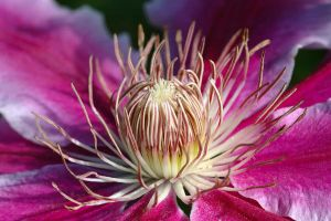 Pink Clematis Flower by oliverporter3