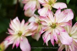 Majorie Clematis I by Hitomii