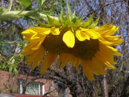 Sunflower looking down by avicados