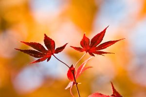 Red Leaves by kenjis9965
