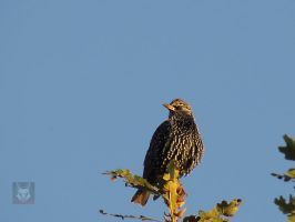 Starling On Tree by wolfwings1