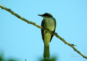 Gray kingbird iv by LoliCanoli