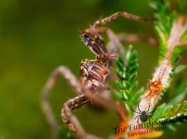 Young Nursery Web Spider - Autumn 2015 by TheFunnySpider