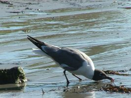 Laughing Gull Drinking III by SlateGray