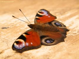Peacock Butterfly by Vihartancos