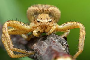 Crawling Spider - Xysticus sp. by RichardConstantinoff