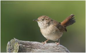 House Wren by Ryser915