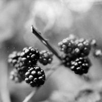 black berries by farbanomalie