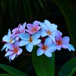 A lovely  bunch of Plumerias by Running-on-fumes