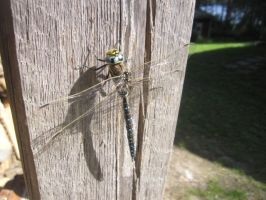 Big dragonfly resting on the log shed wall by Lightningball