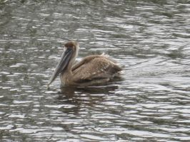 Brown Pelican 76 by AxelHonoo