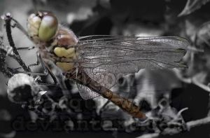 Young dragonfly pt2 by marquiswyld