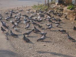 Pigeons by AbstractWater