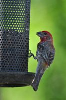 House Finch 8990 by robbobert