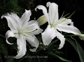 White Lily flowers by bp2007