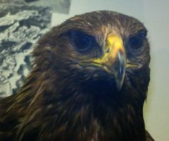 Eagle Closeup by mmad-sscientist