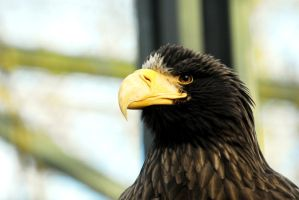 Stella Sea Eagle by Shadow-and-Flame-86