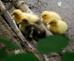Baby Ducks by Wandering-Soul7996