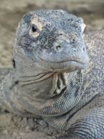 Komodo Dragon 2 by Tailfeathrz