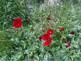 The Wild Nature and Me - Poppies - 2015-04-02.3 by Kay-March