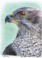 goshawk side-face III by asio-otus-otus