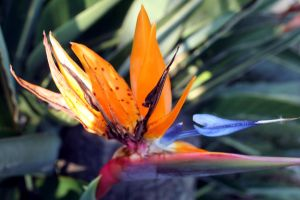 Bird of Paradise by cynstock