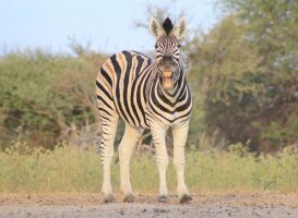 Zebra - African Wildlife - Life is a Smile by LivingWild